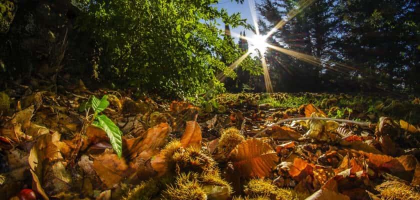 Tamme Kastanjes in bos CC_bewerkt