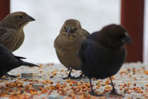 Vogels eten zaad in winter, Oudersvannature.nl