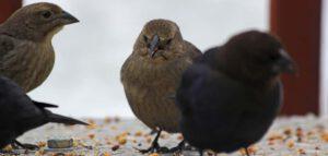 Vogels eten zaadjes in winter, Oudersvannature.nl