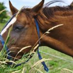 Paarden op Terschelling