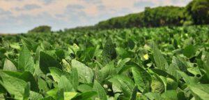 Gemanipuleerde sojabonen schadelijk voor de gezondheid