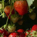 Jam maken van aardbeien