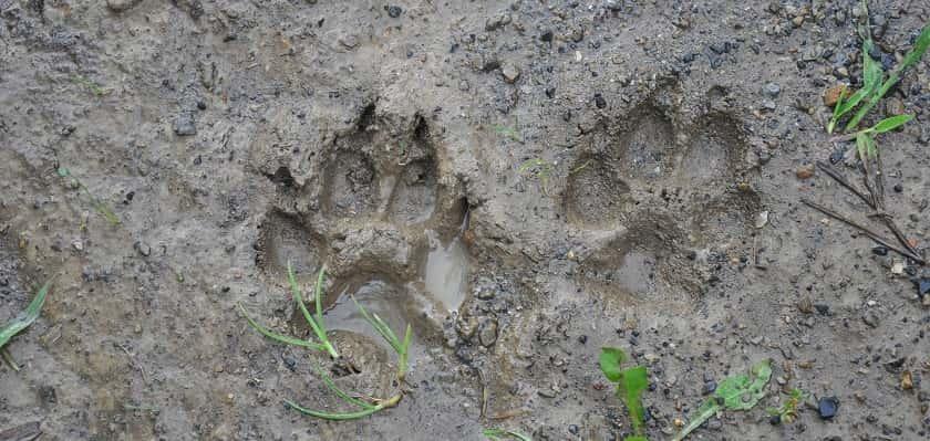 diersporen in de modder