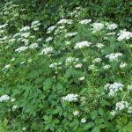 Week 24: zevenblad uit je tuin eten