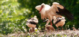 jonge ooievaars last van droogte