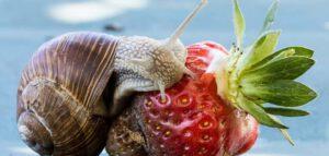 slakken op aardbeien