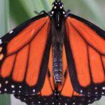 Vlinders nectar voeren