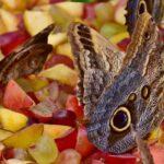 Vlinders fruit voeren