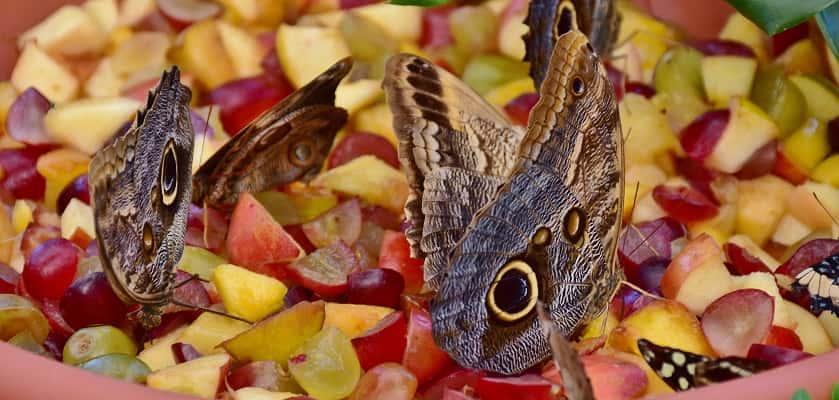 Vlinders dagpauwogen eten fruit