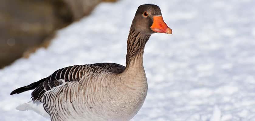grauwe gans vogels voeren in de winter